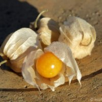 A cluster of Cape Gooseberries