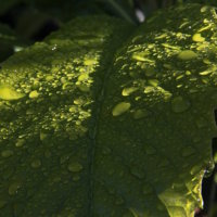 Loquat leaves II