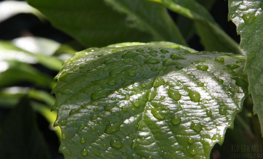 Loquat leaves