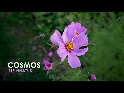 The Zen of Flower Watching | Cosmos Bipinnatus