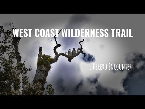 Kereru Encounter - West Coast Wilderness Trail, NZ