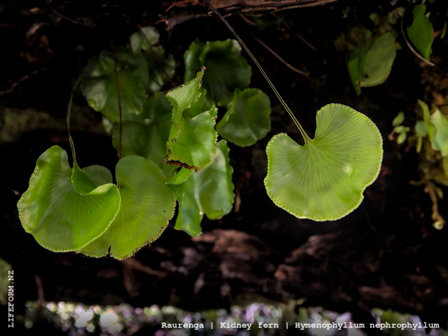 Kidney fern on underside of log