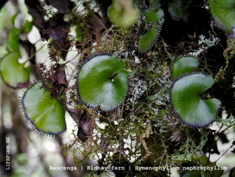 Kidney Fern - Raurenga - West Coast, NZ