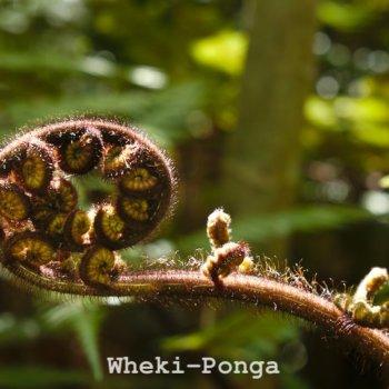 Wheki-Ponga Tree Fern - Koru