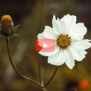 Cosmos Bipinnatus flower