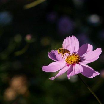 Cosmos Bipinnatus <span>[Images]</span>