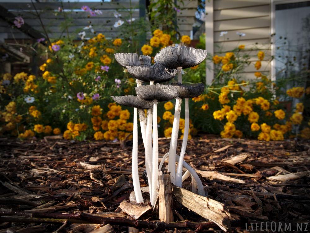 coprinoid mushroom