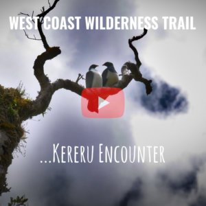 Kereru Encounter - West Coast Wilderness Trail