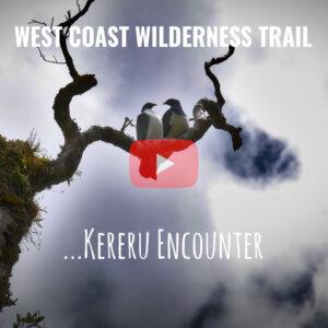 Kereru Encounter - West Coast Wilderness Trail