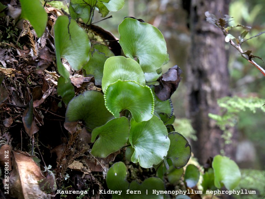 Kidney Fern - Oparara, West Coast, NZ
