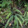 Kiwikiwi - Creek Fern - Blechnum Fluviatile