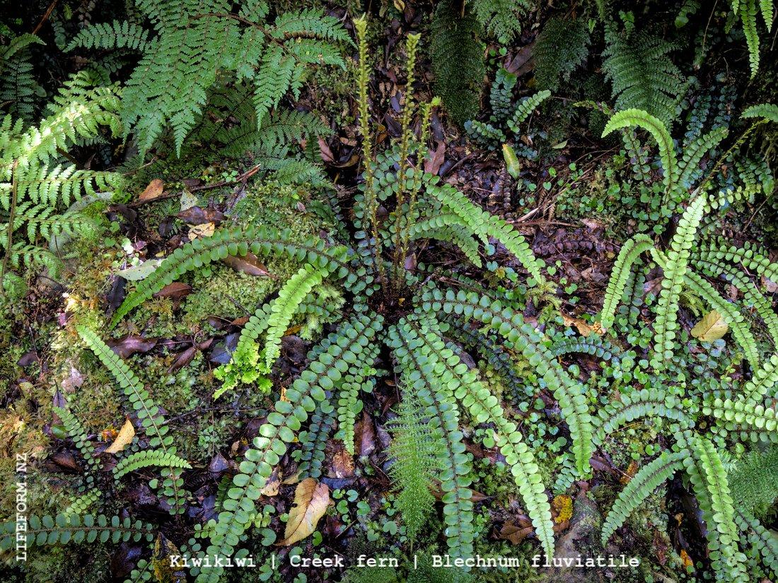 Creek Fern NZ