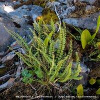 Maidenhair Spleenwort – Asplenium trichomanes