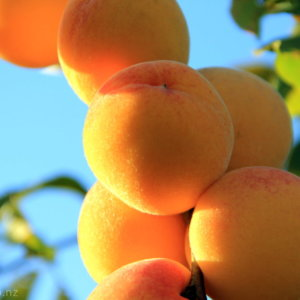 A Flock of Peaches