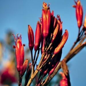 Pohutukawa flowers emerging