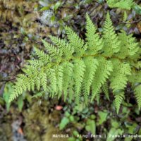 Mātātā - Ring fern - Paesia scaberula