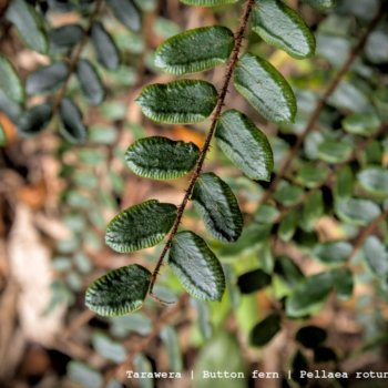 Tarawera - Button Fern - Pellaea Rotundifolia