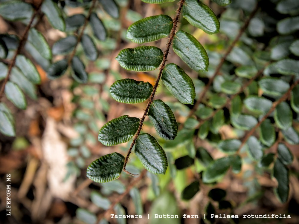 Tarawera - Button fern
