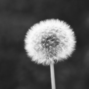 Dandelion flower head