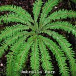 Waekura - Umbrella Fern - Sticherus Cunninghamii