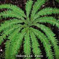 Umbrella fern (Sticherus cunninghamii)