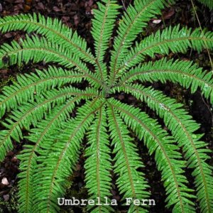 Umbrella fern - Sticherus cunninghamii